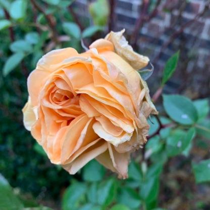 Missing you Desert Rose