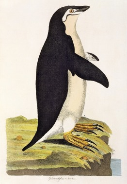 """Aptenodytes Antarctica"" illustration from 'Cimelia Physica. Figures of rare and curious quadrupeds, birds...' published 1796 (hand coloured engraving) by Miller, John Frederick (1759-96); Private Collection; The Stapleton Collection; English, out of copyright."